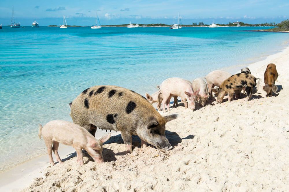 Pig Beach, ostrov Big Mayor Cay, Bahamy